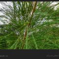 درخت کازوارینا و خواص آن/ ویکی ووک