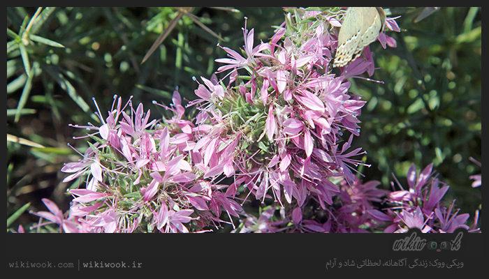 گیاه چوبک و خواص آن / ویکی ووک