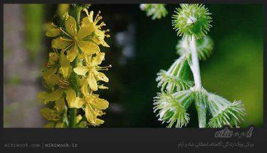 گیاه غافث و خواص آن / ویکی ووک