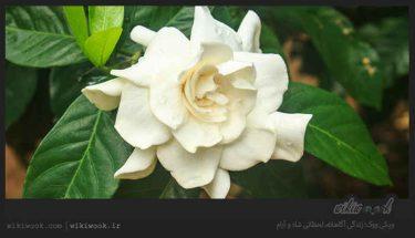 درختچه گاردینا و خواص آن / ویکی ووک