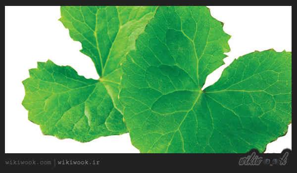گیاه گوتوکولا و خواص آن / ویکی ووک