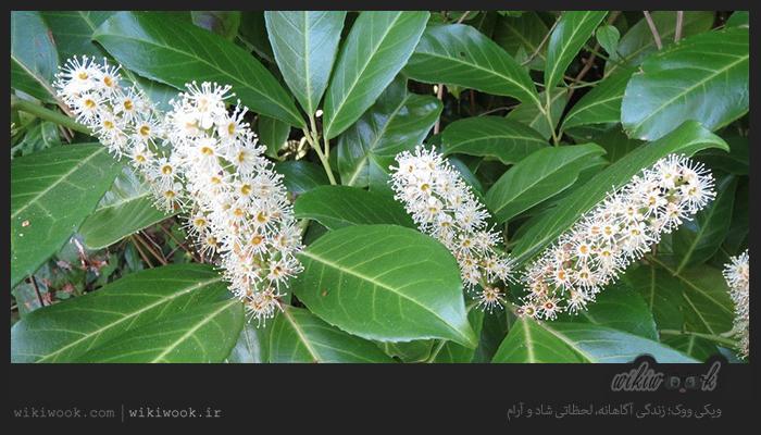 درختچهی غارگیلاسی و خواص آن / ویکی ووک