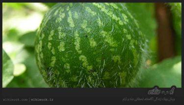 از خواص درمانی هندوانه ابوجهل چه می دانید؟ / ویکی ووک