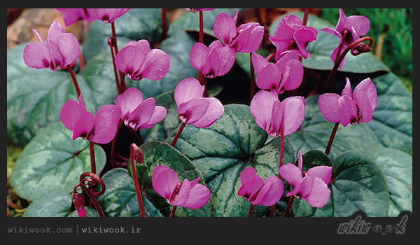 Cyclamen flower - wikiwook