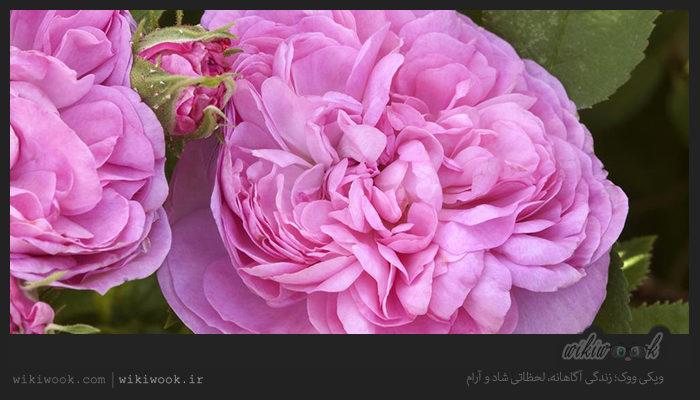 گل محمدی چه خواصی دارد؟ / ویکی ووک