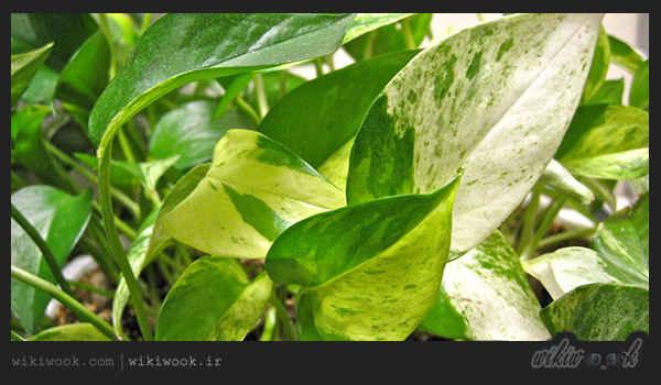 چگونه از گیاه آپارتمانی پوتوس نگهداری کنیم؟ - ویکی ووک