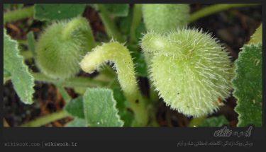گیاه خیار خر و خواص آن / ویکی ووک