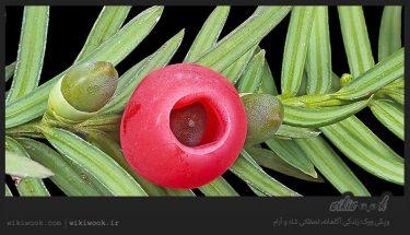 درخت زرنب و خواص آن / ویکی ووک