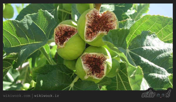 شیره درخت انجیر و خواص آن / ویکی ووک