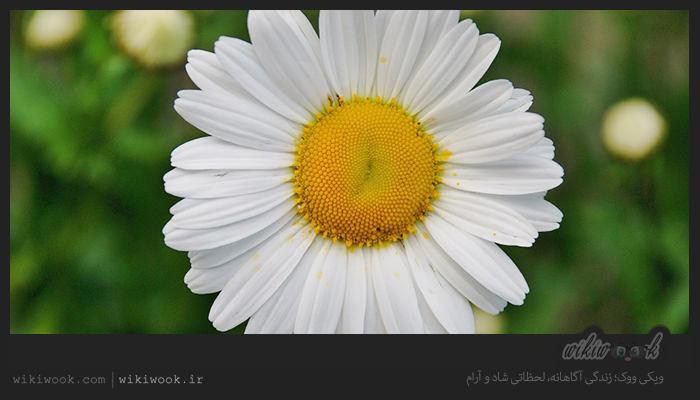 پیر بهار و خواص آن / ویکی ووک