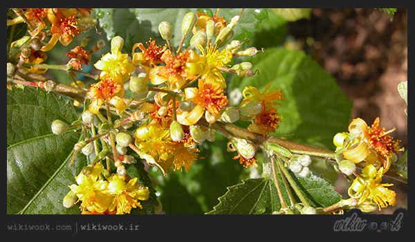 گیاه کانگو و خواص آن / ویکی ووک
