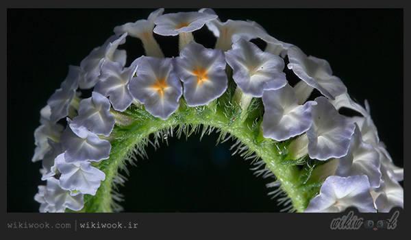 گل آفتاب پرست