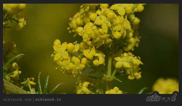 گیاه شیرپنیر و خواص آن / ویکی ووک