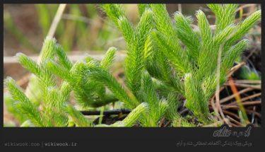 گیاه پای گرگ و خواص آن / ویکی ووک
