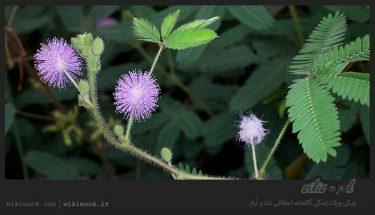 گیاه حساس و خواص آن / ویکی ووک