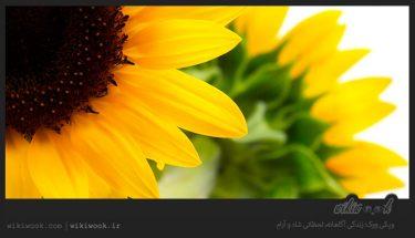 داستان انگیزشی شماره 33 – آفتاب گردان / ویکی ووک