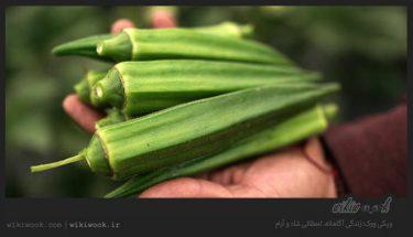 معرفی گیاه بامیه و خواص آن از دیدگاه طب سنتی - ویکی ووک