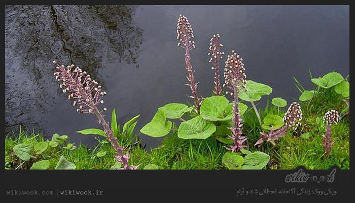 گیاه حب القرعان و خواص آن / ویکی ووک