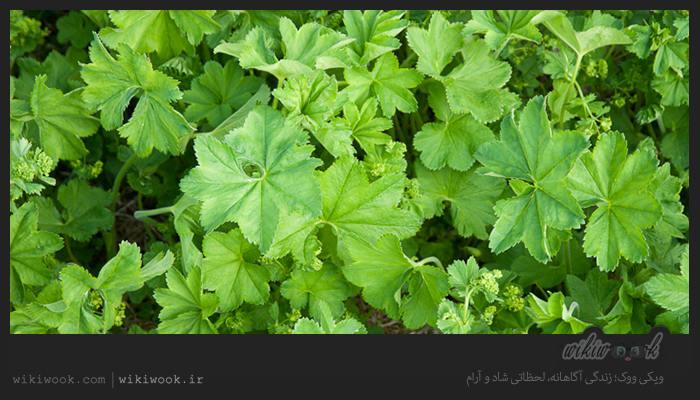 گیاه پای شیر و خواص آن / ویکی ووک