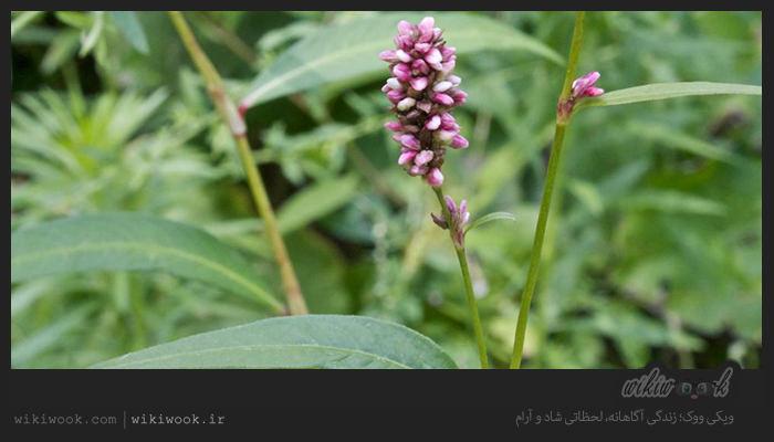 گیاه هفت بند و خواص آن / ویکی ووک