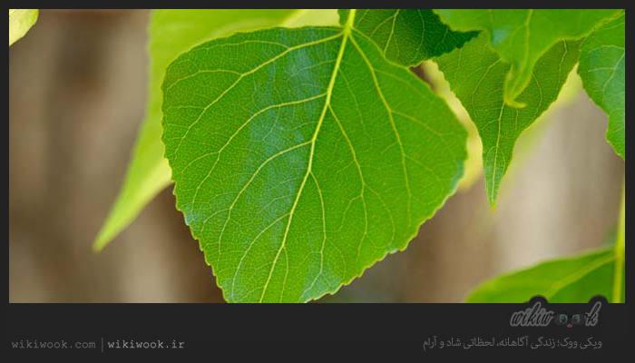 درخت شالک و خواص آن / ویکی ووک