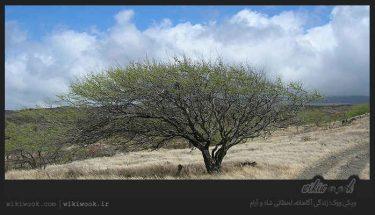 درخت کهور و خواص آن / ویکی ووک