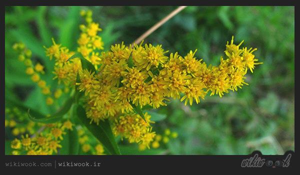 گیاه روئینه و خواص آن / ویکی ووک