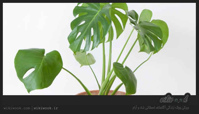 چگونه گیاه برگ انجیری را در آپارتمان نگهداری کنیم؟ / ویکی ووک