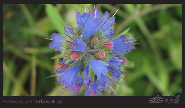 گل گاوزبان چه خواصی دارد؟ / ویکی ووک