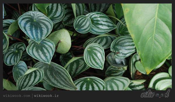 آیا با روش نگهداری گیاه زیبای پیرومیای هندوانه ای آشنایی دارید؟ - ویکی ووک