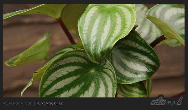 گیاه بومی آمریکای جنوبی - ویکی ووک