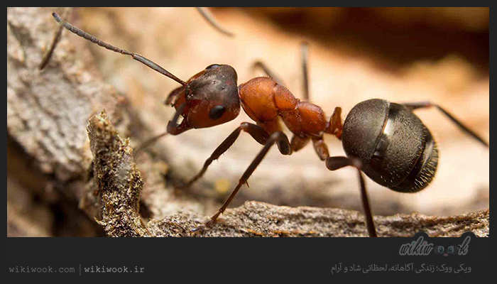 بیرون کردن مورچه ها از محل زندگی با چند روش ساده - ویکی ووک