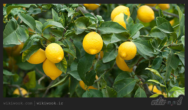 لیمو- ویکی ووک