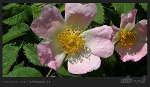 گل نسترن