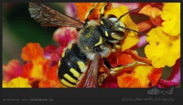 زنبور عسل چگونه زندگی می کند؟ / ویکی ووک