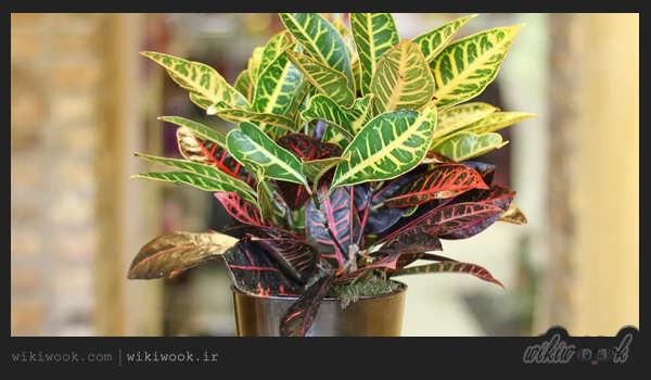 روش تکثیر کروتون این گیاه آپارتمانی – ویکی ووک