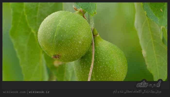گیاه دند و خواص آن / ویکی ووک