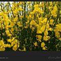 گل طاووسی و خواص آن / ویکی ووک