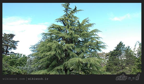 درخت ابهل و خواص آن / ویکی ووک