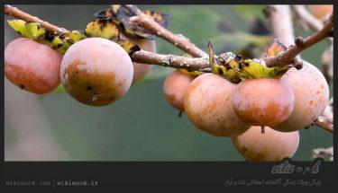 درخت کلهو و خواص آن / ویکی ووک
