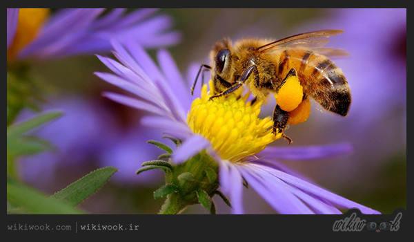 گرده گل زنبور عسل