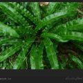 گیاه زنگی دارو و خواص آن / ویکی ووک