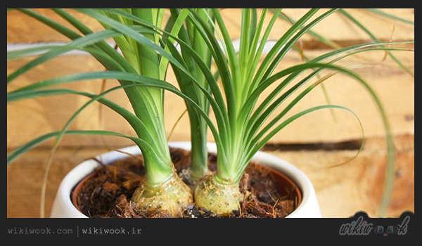 گیاه لیندا و طریقه نگهداری از آن - ویکی ووک
