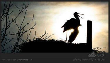 داستان انگیزشی شماره 50 - لک لکهای عاشق / ویکی ووک