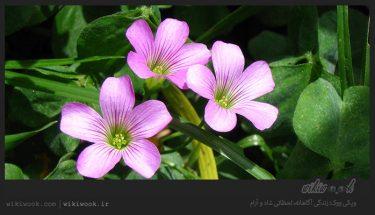گیاه ترشک سه برگ و خواص آن / ویکی ووک