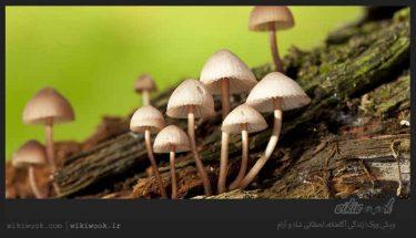 چگونه قارچ های سمی را تشخیص بدهیم؟ / ویکی ووک
