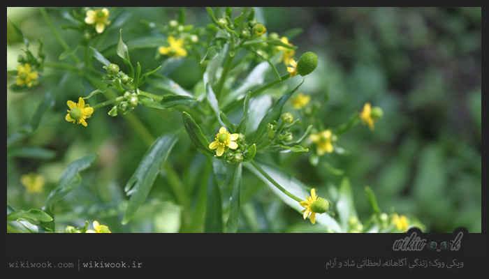 گیاه موشک و خواص آن / ویکی ووک