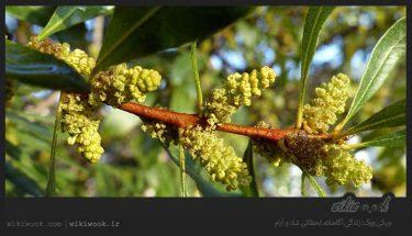درخت موم و خواص آن / ویکی ووک