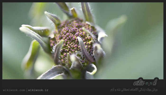 گیاه وسمه و خواص آن / ویکی ووک